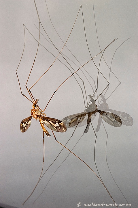 Crane Fly