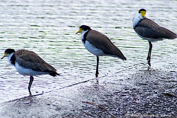 Spurwinged Plovers at Lower Nihotupu Dam