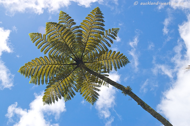 Silver Fern from below