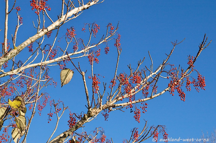 Blue Sky and Red Berries