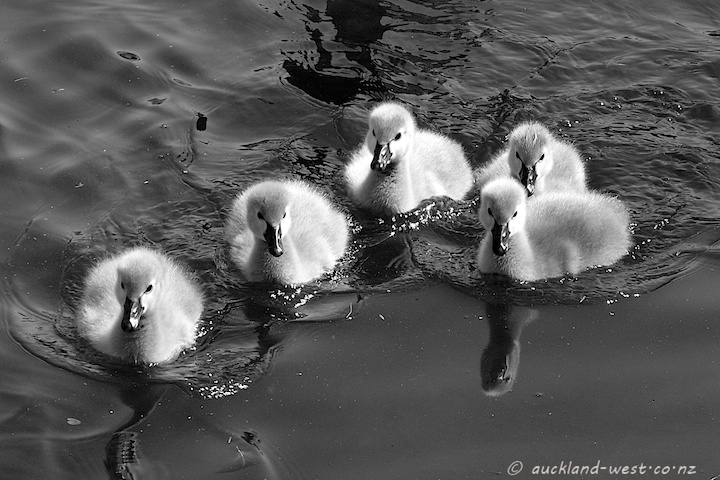 Cygnets at Western Springs