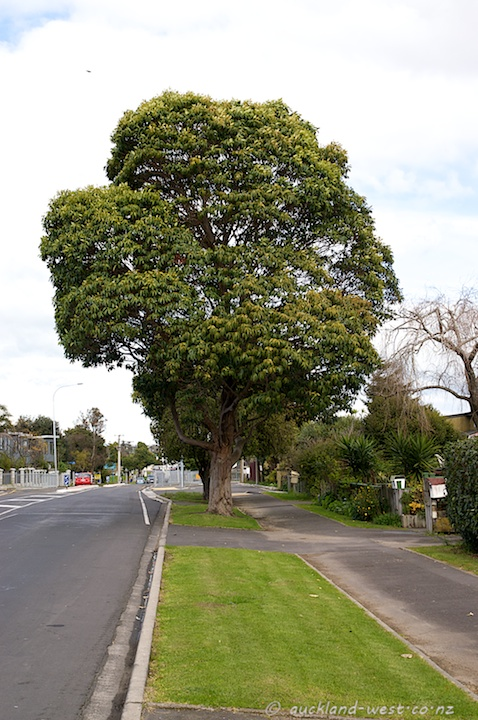 Queensland Box Tree in St Georges Road, Avondale