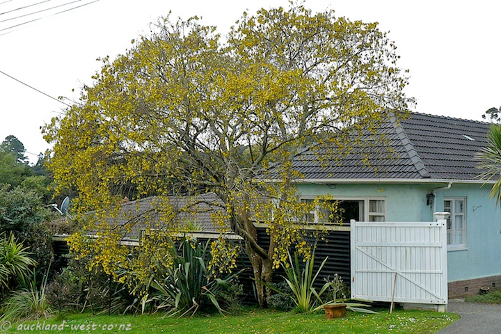 Kowhai Tree in Flower