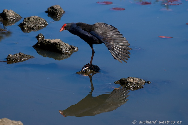 Pukeko: the Wing Stretch