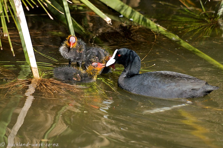 Coots (Adult and Chicks)