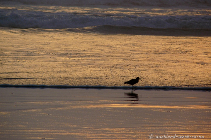 Oystercatcher in the Evening Light