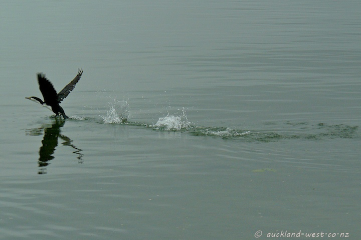 Pied Shag Taking Off
