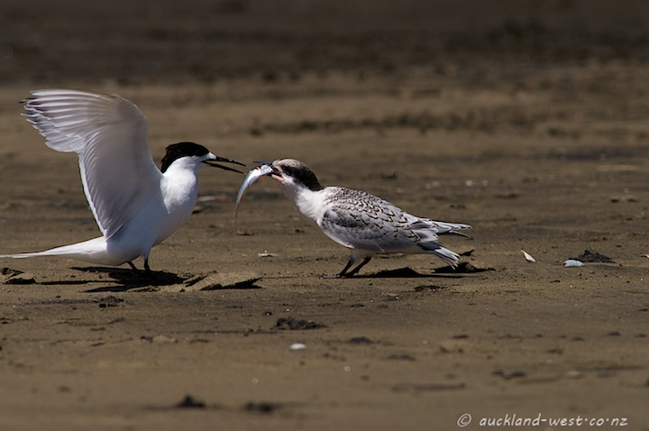 White-fronted Tern Feeding its Chick