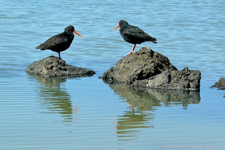 Variable Oystercatchers (Haematopus Unicolor)