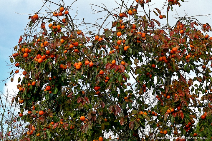 Persimmon Tree in Fruit