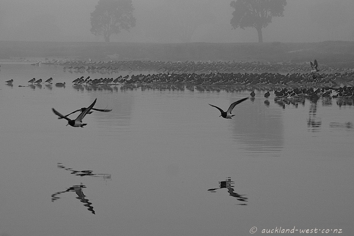 Oystercatchers in the Mist