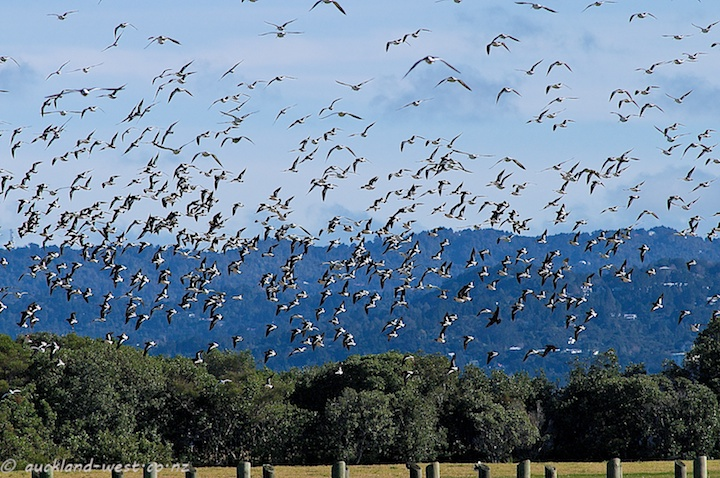 Taking to the Air: Oystercatchers at Mangere