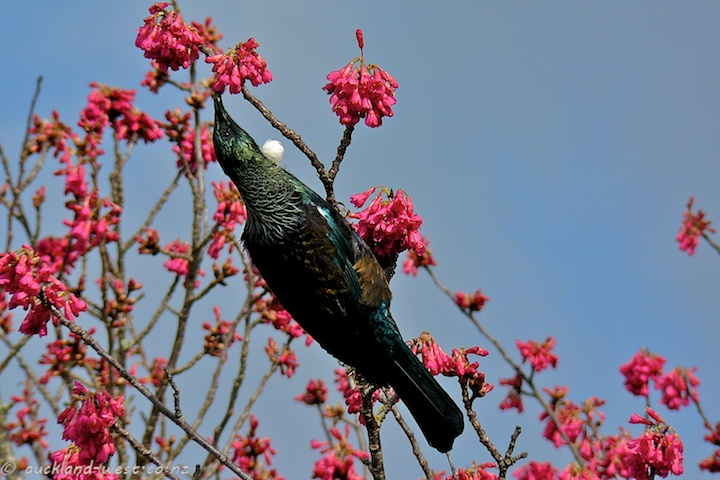 Tui in the Tui Tree