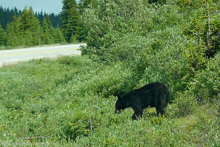 Bear Grazing next to the Icefields Parkway
