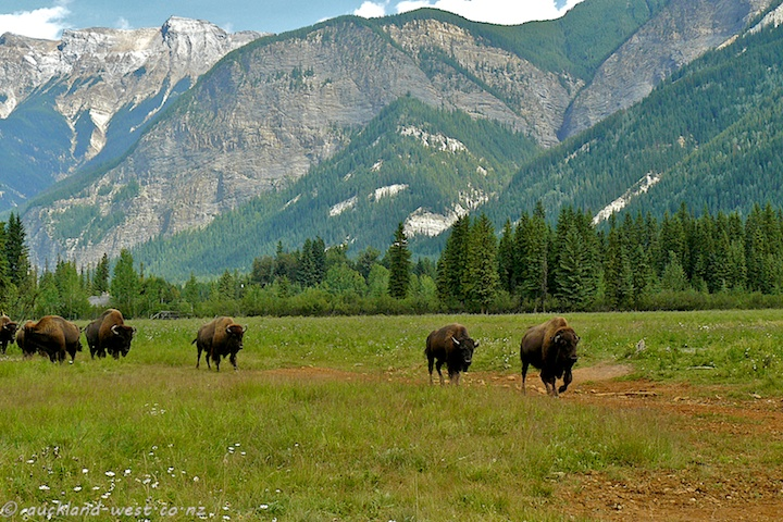 Buffalos and Scenery