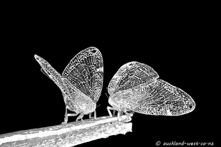 Two Passion Vine Hoppers