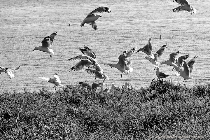 A Mob of Red-Billed Gulls