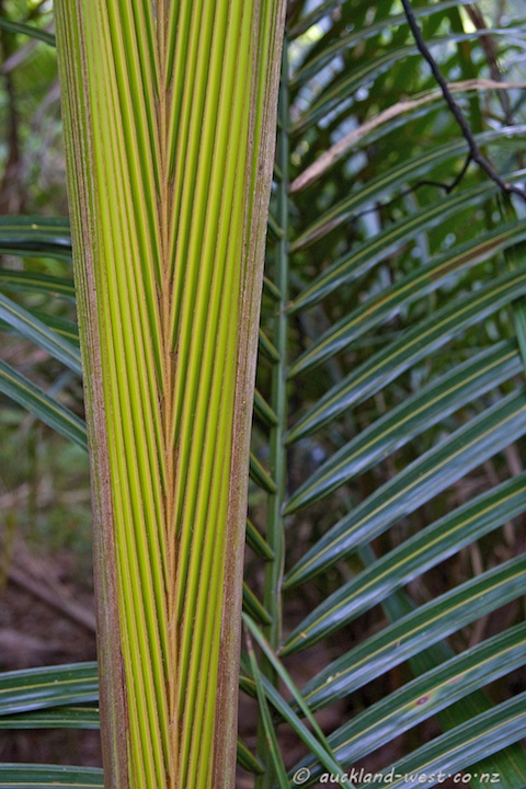 Nikau Leaf Unfurling