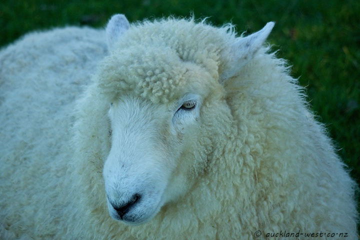 Sheep, Ambury Farm Park