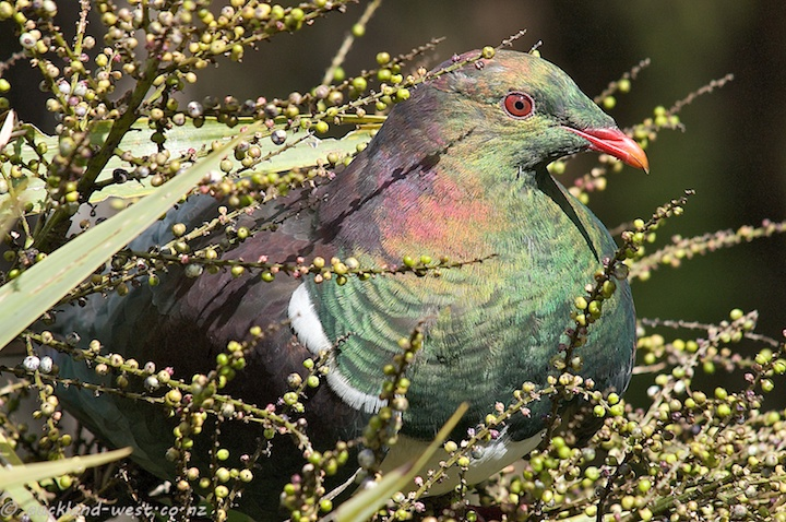 New Zealand Woodpigeon (Kereru)