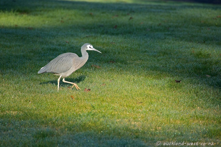 White-faced Heron in the Morning Sun