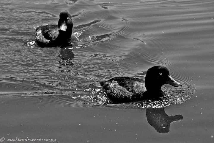 Two Scaup at Western Springs
