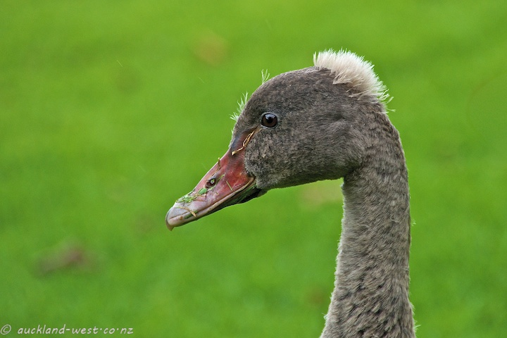 Cygnet Growing up