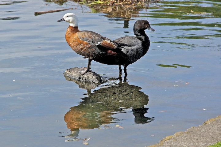 Paradise Shelduck: Female and Male
