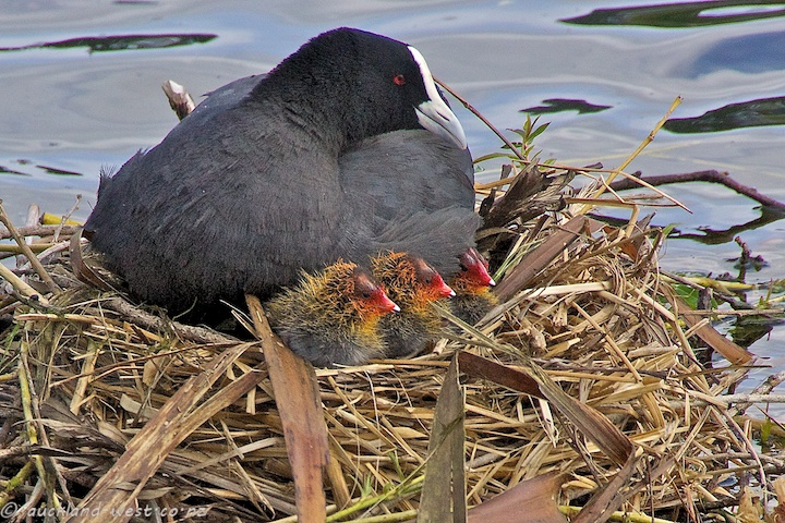 Coot and Chicks