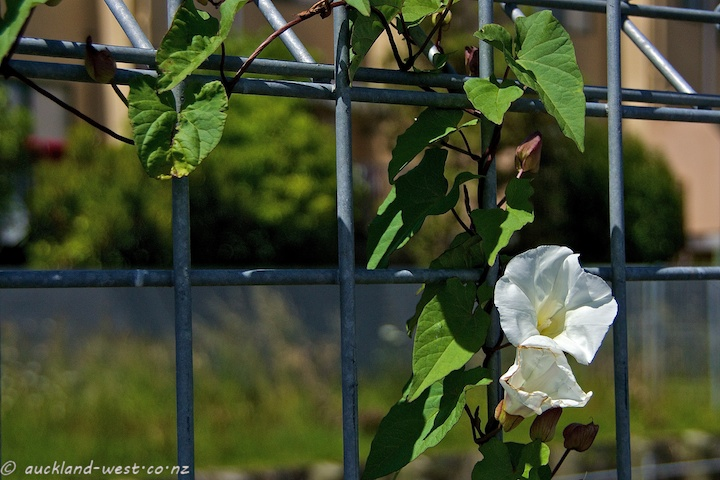 White Morning Glory