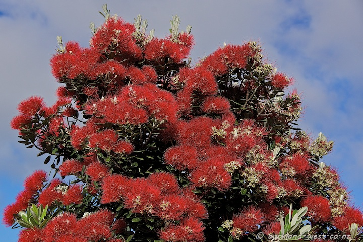 Pohutukawa in Full Bloom
