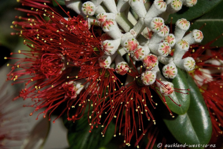 Pohutukawa Flowers and Buds