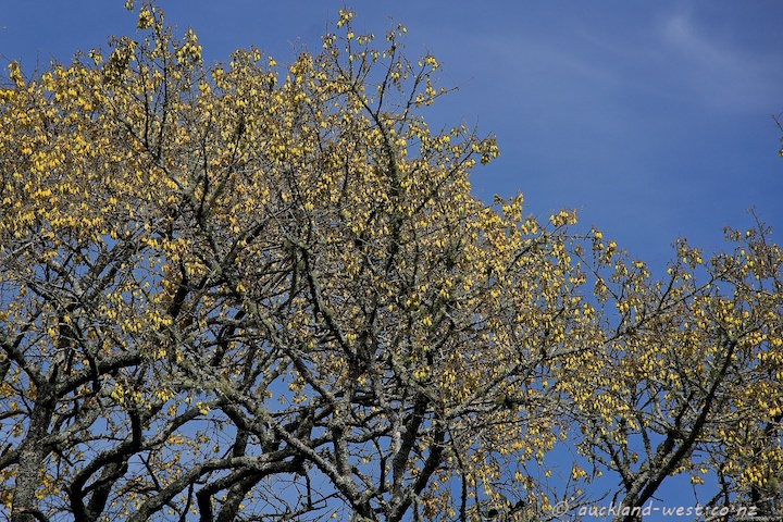 Kowhai Trees in Bloom