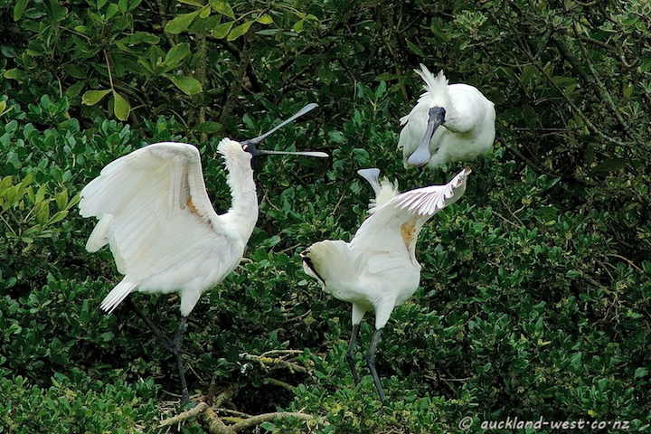 A Commotion of Royal Spoonbills
