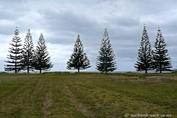 Norfolk Pines, Whananaki South Beach
