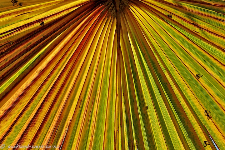 Washingtonia Palm Leaf