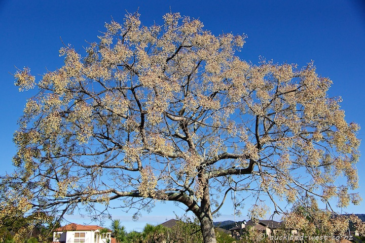 Chinaberry Tree (Melia Azedarach)