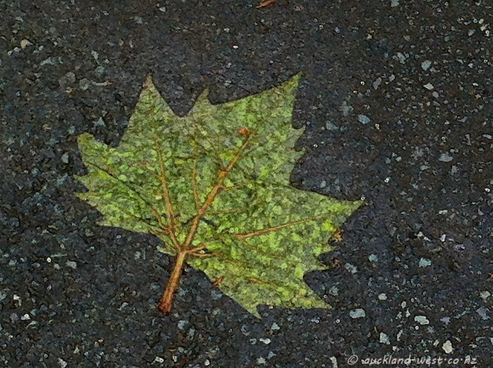 London Plane Tree - Leaf
