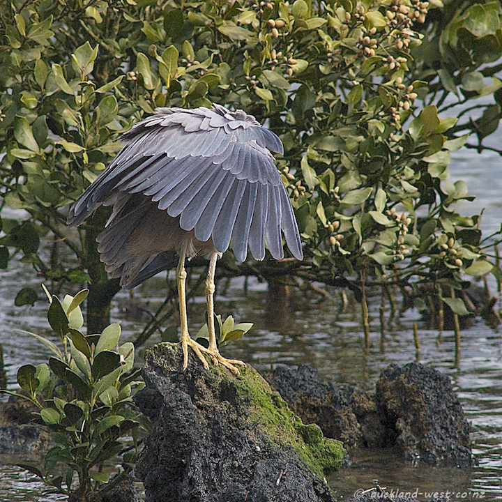 No-faced Heron