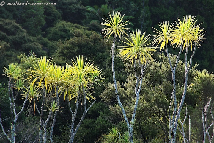 Cabbage Trees (Cordyline Australis)