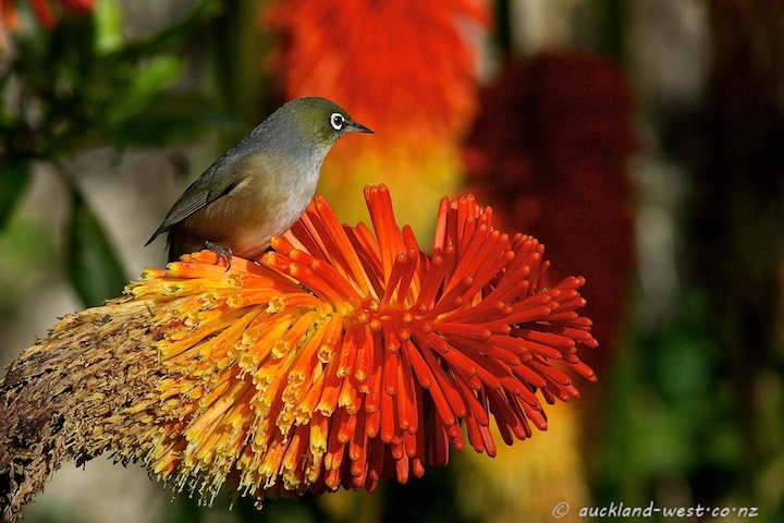 Silvereye on Red Hot Poker