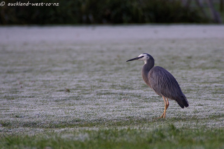 White-faced Heron on Frosted Paddock