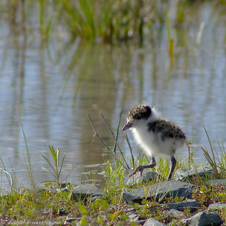 Baby Spur-winged Plover