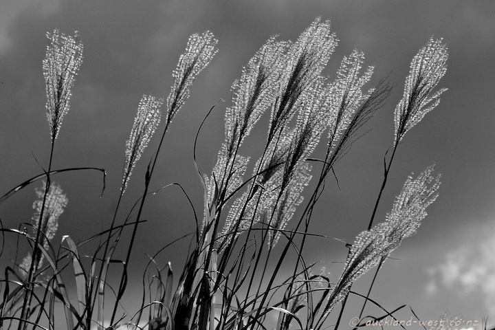 Himalayan Fairy Grass (Miscanthus nepalensis)